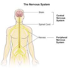 The Spinal Cord – Part 1