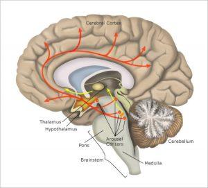 sleep centres of brain