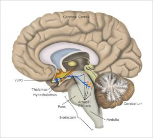 brain image showing sleep centres